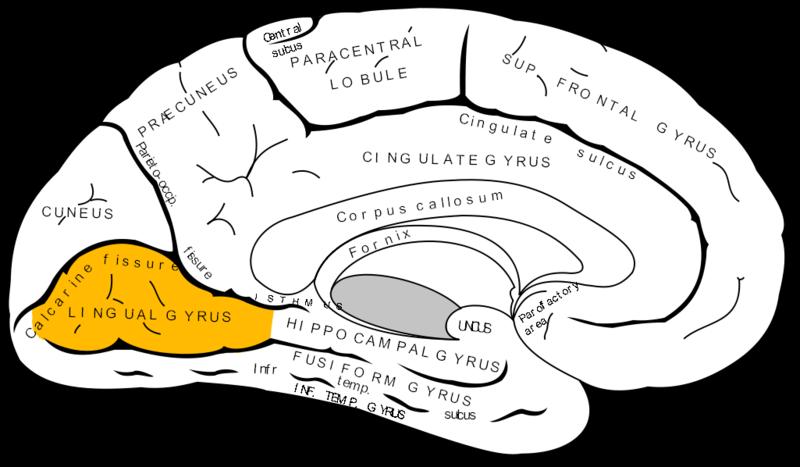 gyrus lingual